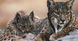 Iberian-lynx-mother-and-kitten