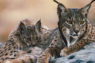 Mother and kitten Iberian Lynx. Photo credit: lhnet.org