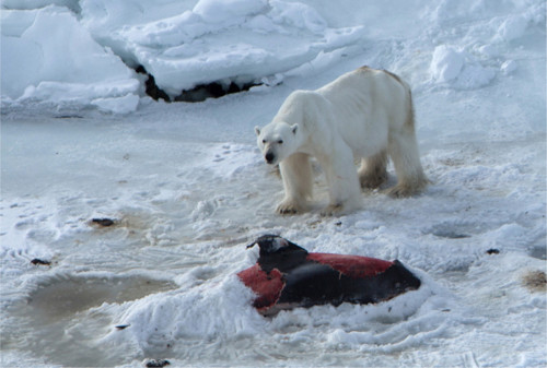 A polar bear with the remains of a white-beaked dolphin covered up with snow. Source: Polar Research via Bloomberg  Climate change: Polar bears now eat dolphins Polar e1434293070130
