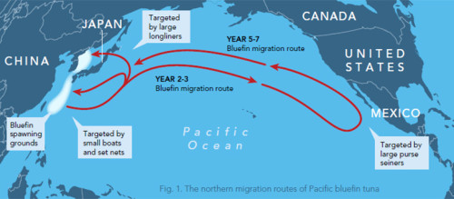 The northern migration routes of the Pacific Bluefin tuna. Infographic courtesy: vox.com