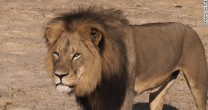 Cecil  'Cecil was symbol of conservation in Zimbabwe' Cecil