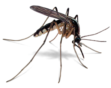 The mosquito, a malaria vector