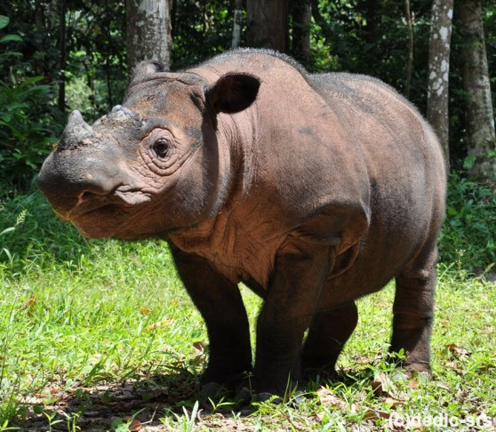 Ratu, a Sumatran rhino. Photo credit: animalfactguide.com