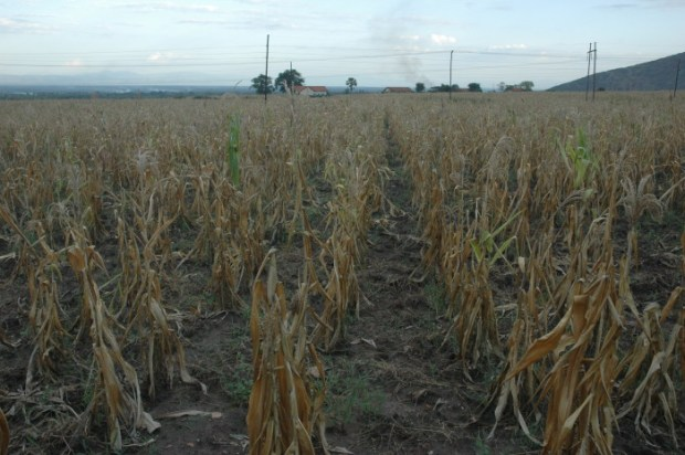 Farmers worldwide are already feeling the effects of rising temperatures and more frequent droughts as a result of climate change  Acid rain threatens life in Uganda dried up1 e1443653454226