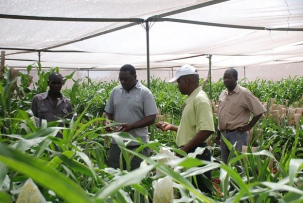 Crop biotechnology has delivered significant socio-economic and welfare benefits to farmers via increased yield, pest and disease resistance, abiotic stress tolerance and enriched nutrient content. Photo credit: agronigeria.com.ng
