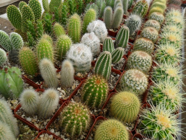 Thirty-one percent of cactus species are threatened with extinction. Photo credit: universofdeals.com