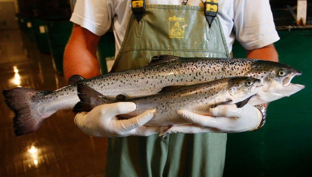 genetically engineered salmon from AquaBounty Technologies, rear, with a conventionally raised sibling roughly the same age. Photo credit: Paul Darrow for The New York Times  US approves GM salmon for consumption SALMONsub master675