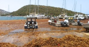 seaweed  UNEP promotes adaptive management strategy for Sargassum seaweed seaweed