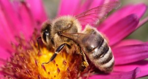 Food production worries as pollinators face threat of extinction