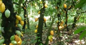 cocoa plantation  Osun identifies 60 million active cocoa trees Cocoa plantation