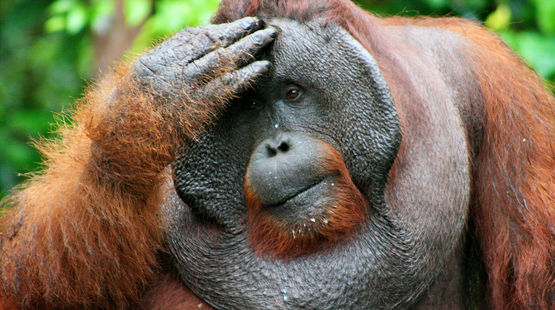 Looking to an uncertain future: Orangutans are threatened by extinction. Photo credit: flickr/CIFOR