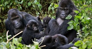 gorilla  Gorillas are in danger of extinction, conservationists warn GORILLAJPSUB articleLarge