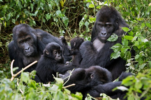 Species of the gorillas are found only in Nigeria and Cameroon forests are at risk of extinction, as Nigeria's wildlife is threatened.  Photo credit: Christophe Courteau / NPL, via Minden Pictures  How behavioural change can protect Nigeria's wildlife GORILLAJPSUB articleLarge