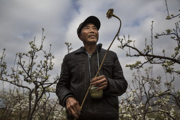 Chinese farmer He Guolin, 53, holds a stick with chicken feathers used to hand pollinate flowers on a pear tree. Photo credit: Kevin Frayer/Getty Images