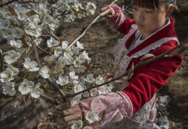 Chinese farmer He Meixia, 26, pollinates a pear tree by hand. Photo credit: Kevin Frayer/Getty Images  Images: Manual flower pollination in China as bees disappear Bees4
