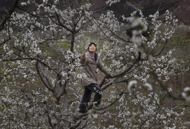 A Chinese farmer climbs in a pear tree as she pollinates the flowers by hand. Photo credit: Kevin Frayer/Getty Images
