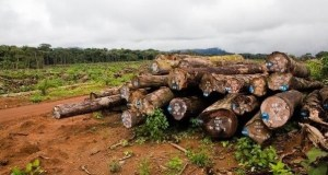 wood  Logging: UK sanctions Cameroon timber traders Green