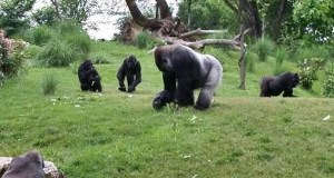 A zoo habouring gorillas  German zoos demand €100 million to combat coronavirus Louisville1 zpsda6d88bf