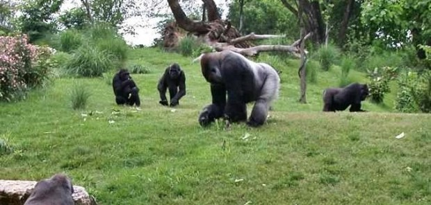 A zoo habouring gorillas