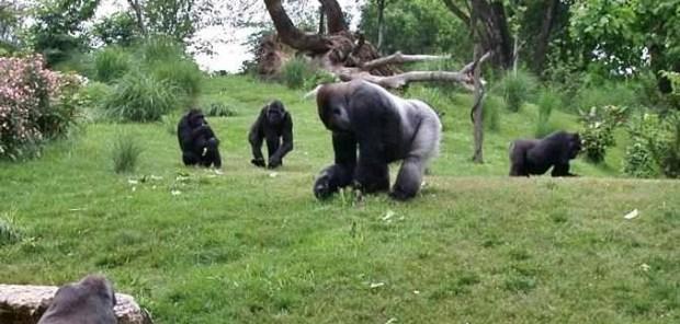A zoo habouring gorillas  Ogun to establish zoological, botanical garden Louisville1 zpsda6d88bf