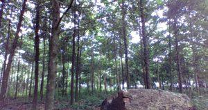 Evergreen Tree Plantation