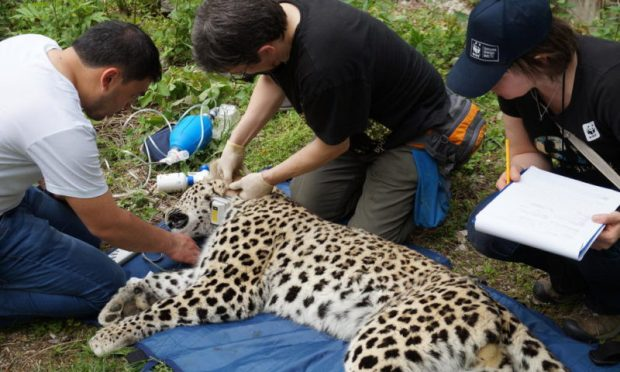 A leopard is fitted with a tracking collar