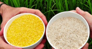 white rice  Golden rice and anti-GM rice propaganda Rice
