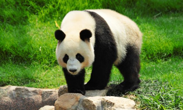 The giant panda has been downgraded from Endangered to Vulnerable on the global list of species at risk of extinction