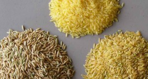 GMO rice  Scientists reject Nobel laureates' pro-GMO letter rice01