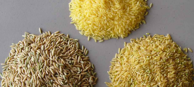 rice01  Activists pick holes in biosafety law, process rice01