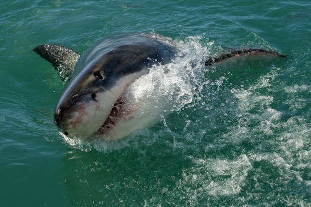 Silky sharks  COP13: Asian elephants, jaguars, sharks to get more protection shark2309
