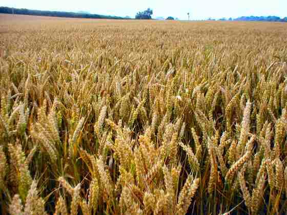 A wheat field. Photo credit: ordiate.com