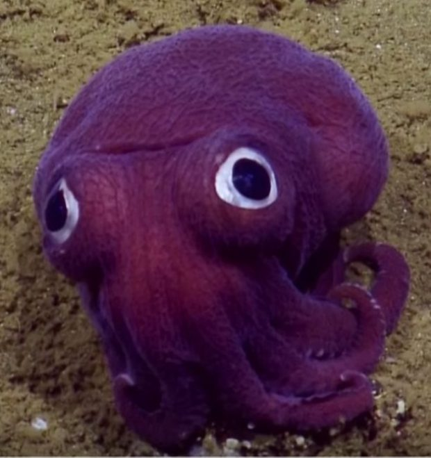 The googly-eyed cross between an octopus and a squid