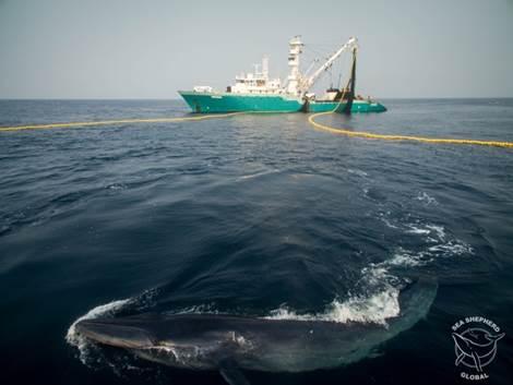 A Bryde's whale caught in an EU tuna net