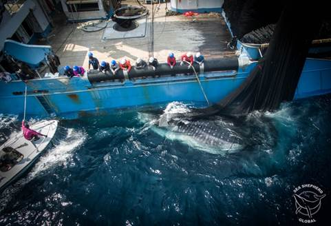 Crew from the Bob Baker releasing a whale shark from a tuna net