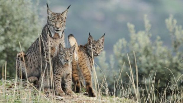 How economic, human pressure threaten biodiversity hotspots Iberian lynx