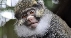 Sclaters-Guenon