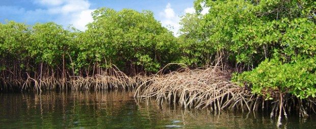 Mangroves  World Wetlands Day: Five wetlands that mitigate extreme weather mangrove pisino
