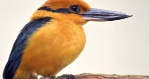 Guam-Kingfisher  Impact of invasive species on dwindling bird population in Guam, by study Guam Kingfisher