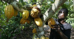 Cocoa-Ghana