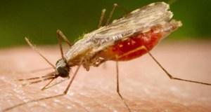 Malaria-anopheles  Malaria ravages U.S., healthcare costs skyrocket Malaria anopheles