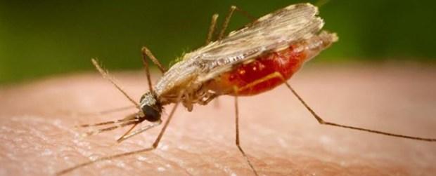 Malaria-anopheles  World Malaria Day: Nigeria losses N132b to malaria annually, says group Malaria anopheles