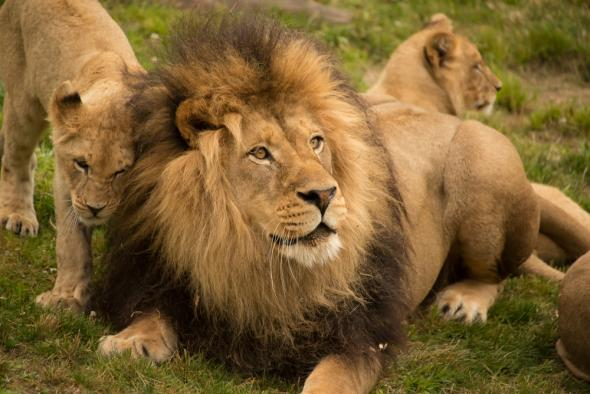 Lions  Uganda strives to save lions following poisoning Lions