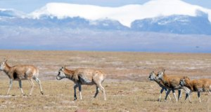 Qinghai Hoh Xil  Three habitat sites recommended for World Heritage status Qinghai Hoh Xil