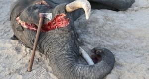 elephant-poaching