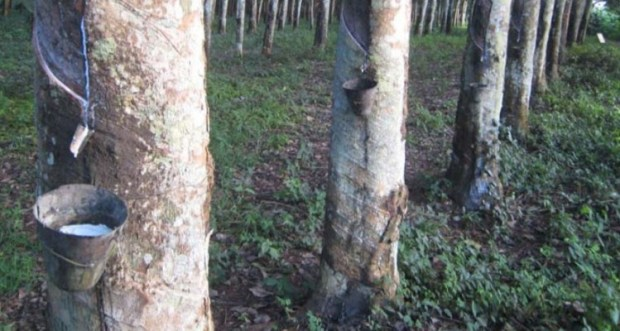 Rubber plantation  Farmers to generate N5.85b annually from rubber plantations in southern Kaduna Rubber