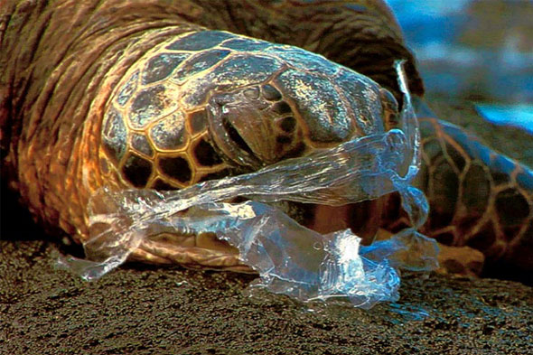 Turtle-eats-plastic  First 'plastic free' label to help shoppers curb pollution Turle eats plastic