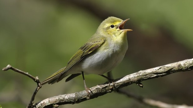 Wood Warbler  World Bird Migratory Day: NCF promotes bird conservation Wood
