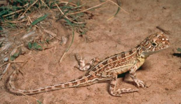 Grassland Earless Dragon  Australia's reptiles threatened by invasive species, climate change – IUCN Grassland Earless Dragon