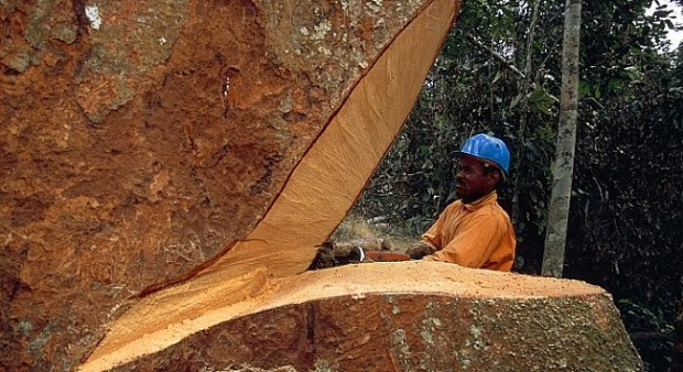 African Rosewood  Spain unveils innovative tool to fight illegal trafficking of tropical wood African Rosewood
